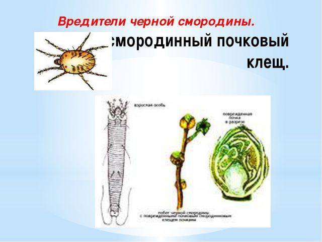 Черносмородинный почковый клещ. Вредители черной смородины.