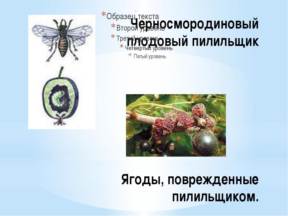 Черносмородиновый плодовый пилильщик Ягоды, поврежденные пилильщиком.