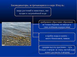 Биоиндикаторы, встречающиеся в озере Иткуль: