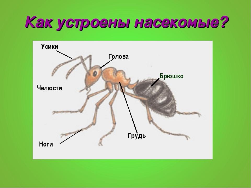 Как устроены насекомые? Брюшко Усики Голова Грудь Ноги Челюсти