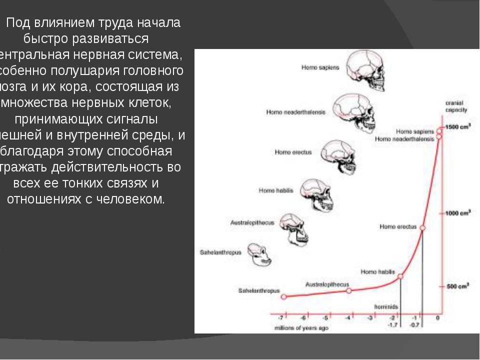 Под влиянием труда начала быстро развиваться центральная нервная система, ос...
