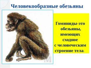 Человекообразные обезьяны Гоминиды-это обезьяны, имеющих сходное счеловечес