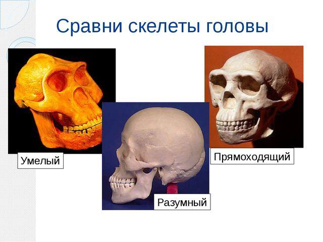 Сравни скелеты головы Умелый Прямоходящий Разумный
