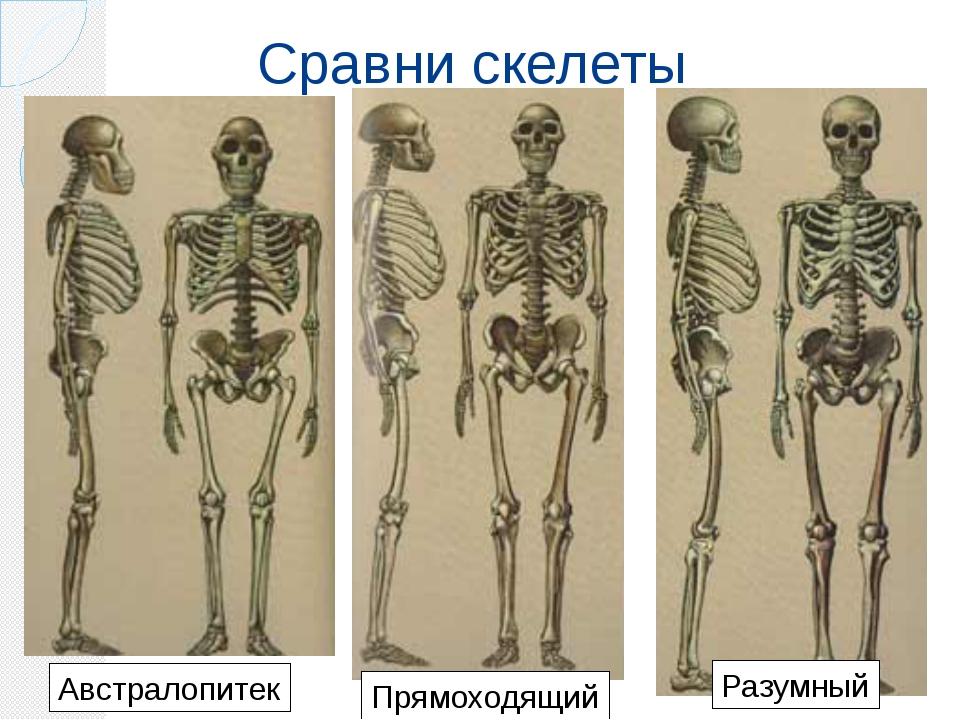 Сравни скелеты Австралопитек Прямоходящий Разумный