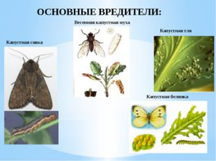 ОСНОВНЫЕ ВРЕДИТЕЛИ: Капустная совка Весенняя капустная муха Капустная тля Ка