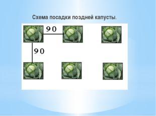 Схема посадки поздней капусты.