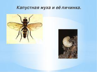 Капустная муха и её личинка.