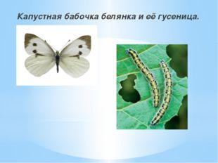 Капустная бабочка белянка и её гусеница.