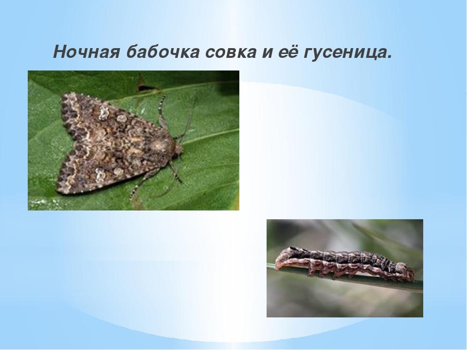 Ночная бабочка совка и её гусеница.