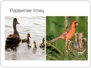 Развитие птиц