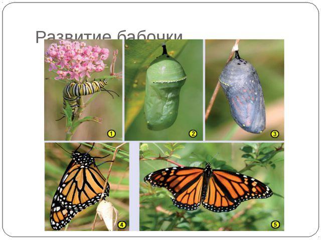 Развитие бабочки