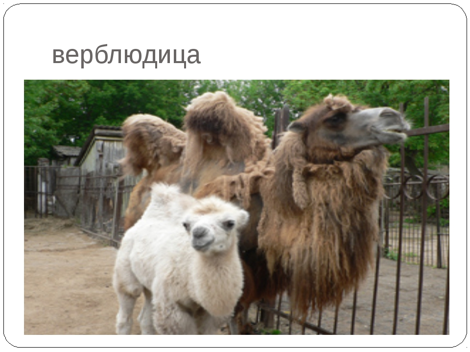 верблюдица