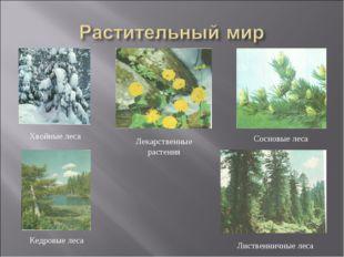 Хвойные леса Лекарственные растения Кедровые леса Лиственничные леса Сосновые