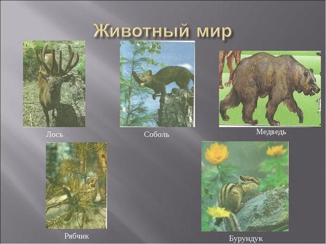 Лось Соболь Рябчик Бурундук Медведь
