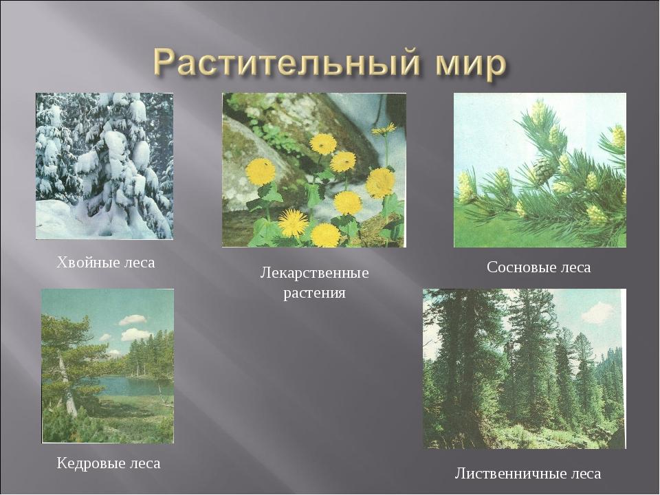 Хвойные леса Лекарственные растения Кедровые леса Лиственничные леса Сосновые...