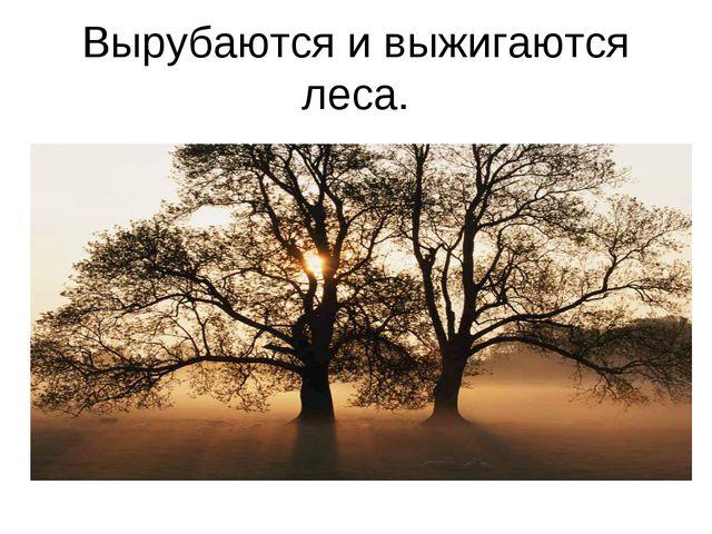 Вырубаются и выжигаются леса.