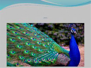 PEACOCK |ˈpiːkɒk| feathers |ˈfeðəz|-перья