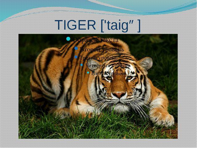 TIGER ['taigə]