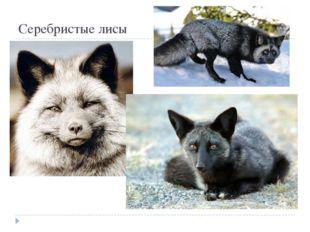 Серебристые лисы