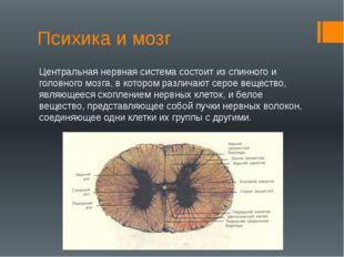 Психика и мозг Центральная нервная система состоит из спинного и головного мо