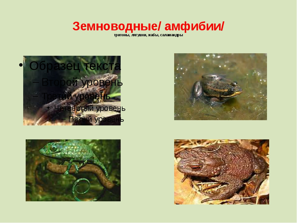 Земноводные/ амфибии/ тритоны, лягушки, жабы, саламандры