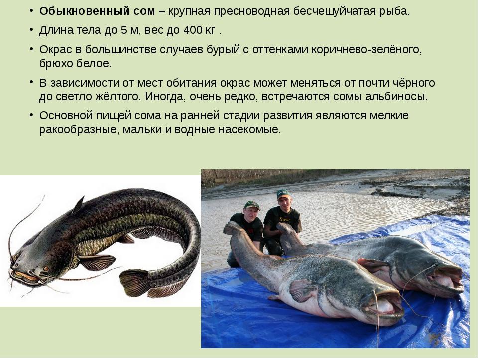 Обыкновенный сом – крупная пресноводная бесчешуйчатая рыба. Длина тела до 5м...