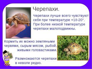 Черепахи. Черепахи лучше всего чувствуют себя при температуре +18-20°. При бо