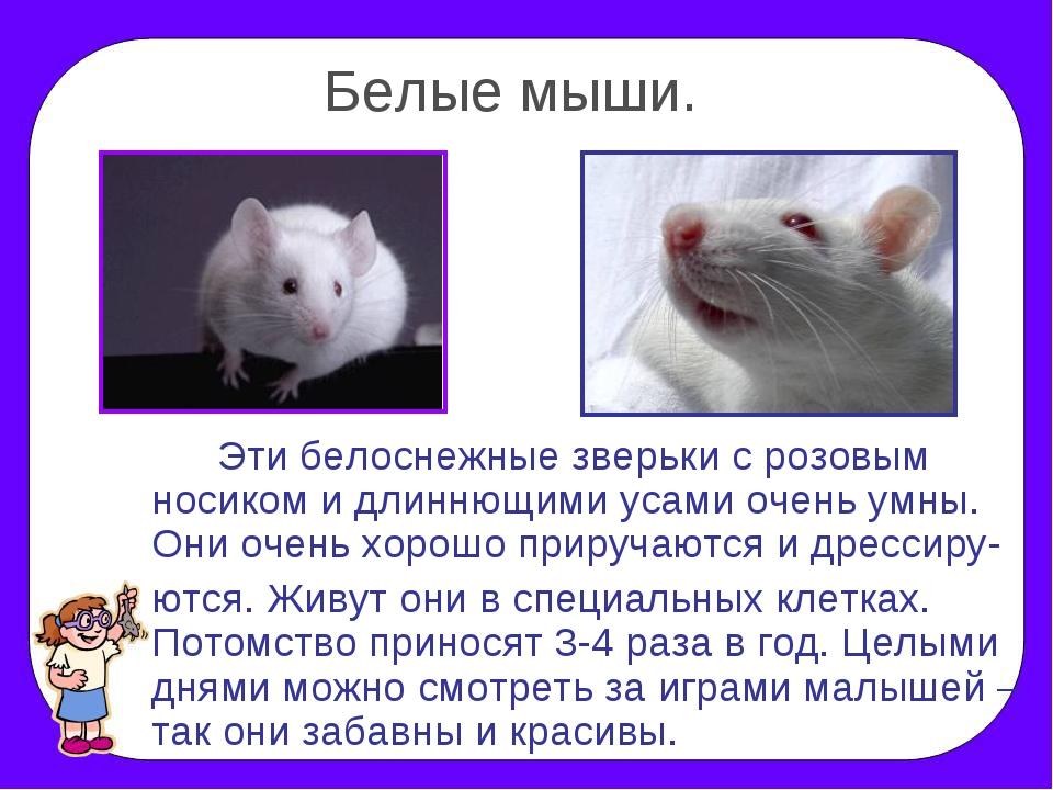 Белые мыши. Эти белоснежные зверьки с розовым носиком и длиннющими усами оч...
