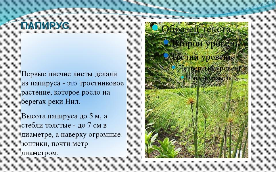 ПАПИРУС Первые писчие листы делали из папируса - это тростниковое растение, к...