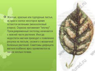 Желтые, красные или пурпурные листья, их края и жилки некоторое время остаютс