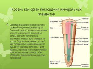 Корень как орган поглощения минеральных элементов Сформировавшаяся корневая с