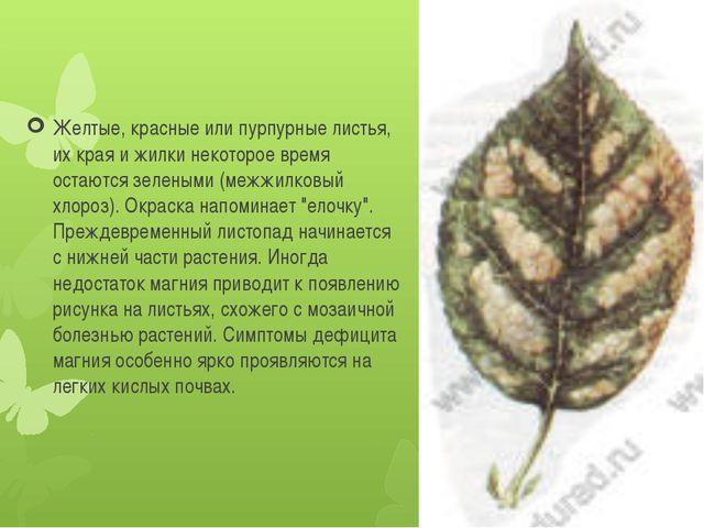 Желтые, красные или пурпурные листья, их края и жилки некоторое время остаютс...