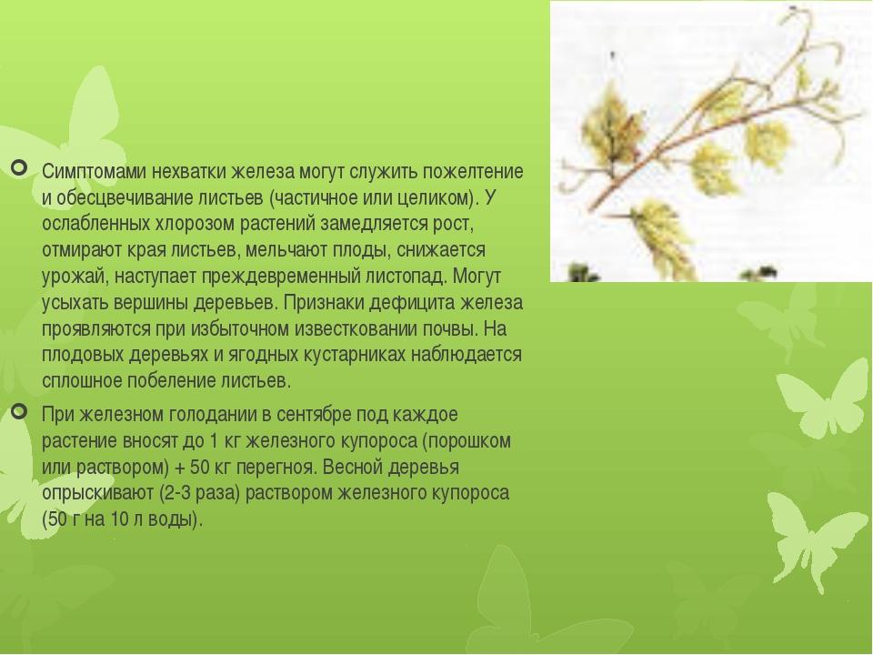 Симптомами нехватки железа могут служить пожелтение и обесцвечивание листьев...