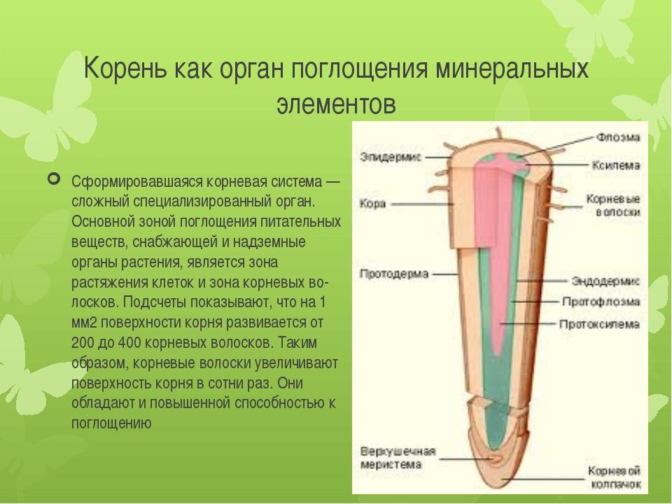 Корень как орган поглощения минеральных элементов Сформировавшаяся корневая с...