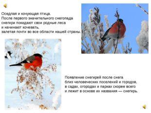 Оседлая и кочующая птица. После первого значительного снегопада снегири поки