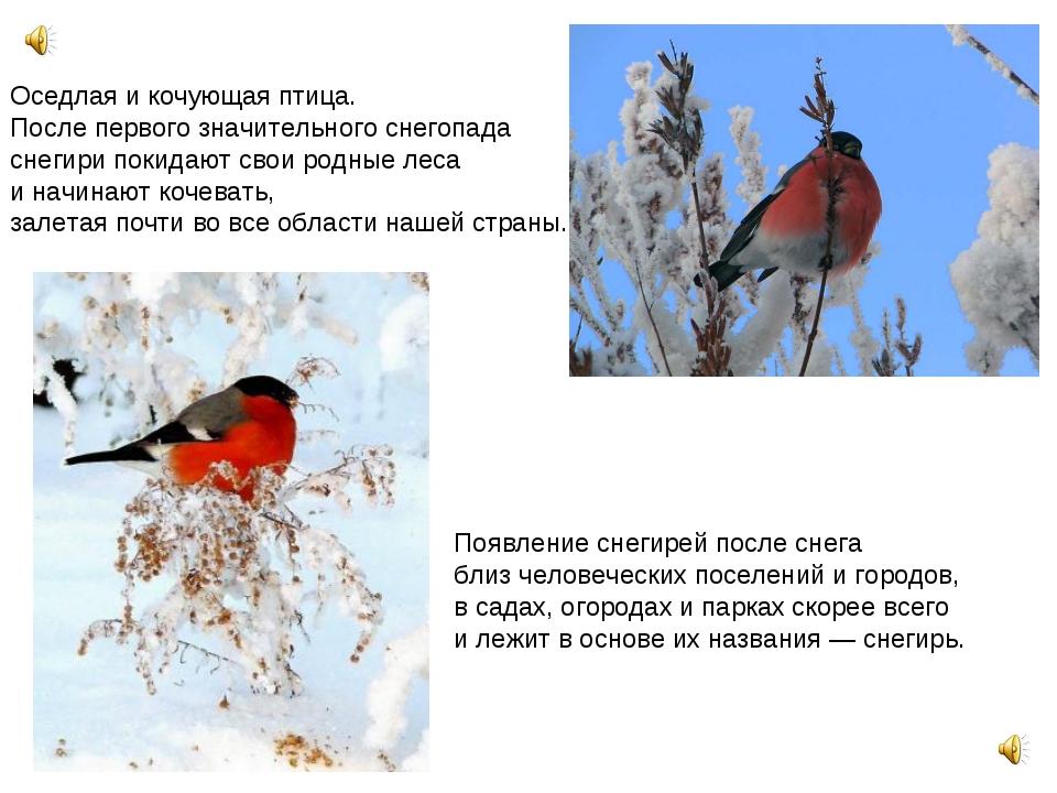 Оседлая и кочующая птица. После первого значительного снегопада снегири поки...