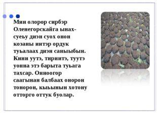 Мин олорор сирбэр Оленегорскайга ынах-суеьу диэн суох онон козаны иитэр ордук
