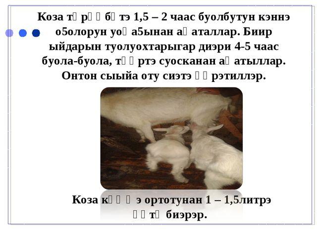 Коза төрөөбүтэ 1,5 – 2 чаас буолбутун кэннэ о5олорун уоһа5ынан аһаталлар. Би...