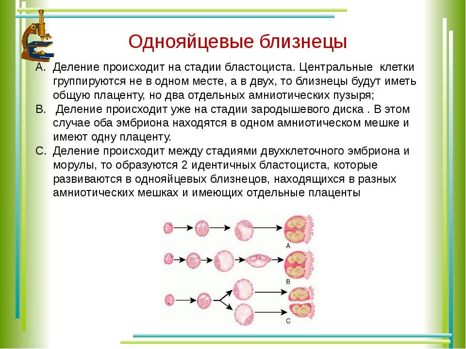 Однояйцевые близнецы Деление происходит на стадии бластоциста. Центральные кл...