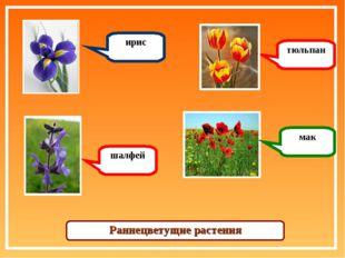 ирис шалфей тюльпан мак Раннецветущие растения