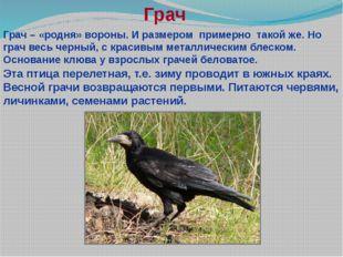 Грач Грач – «родня» вороны. И размером примерно такой же. Но грач весь черный