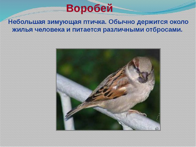 Воробей Небольшая зимующая птичка. Обычно держится около жилья человека и пит...