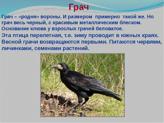 Грач Грач – «родня» вороны. И размером примерно такой же. Но грач весь черный...