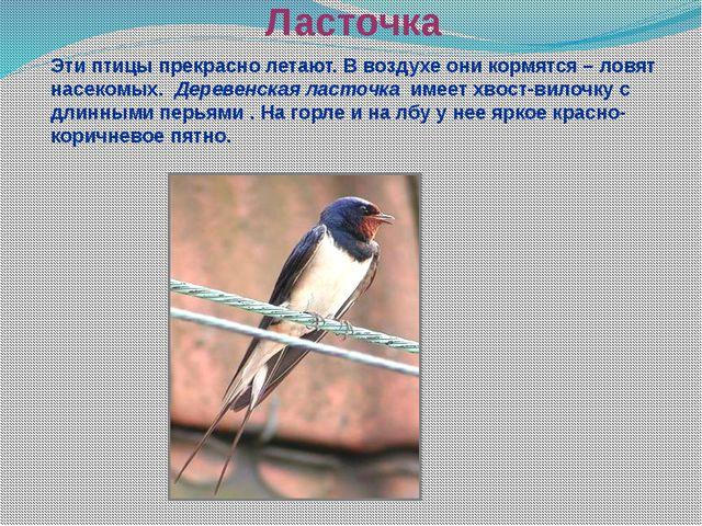 Ласточка Эти птицы прекрасно летают. В воздухе они кормятся – ловят насекомых...