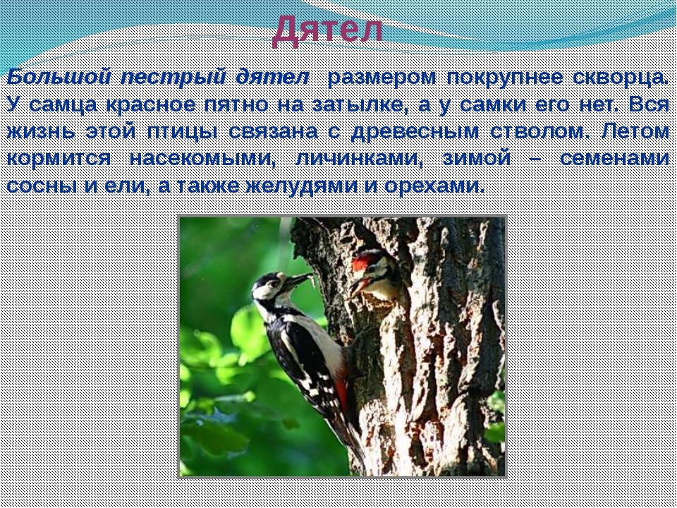 Дятел Большой пестрый дятел размером покрупнее скворца. У самца красное пятно...