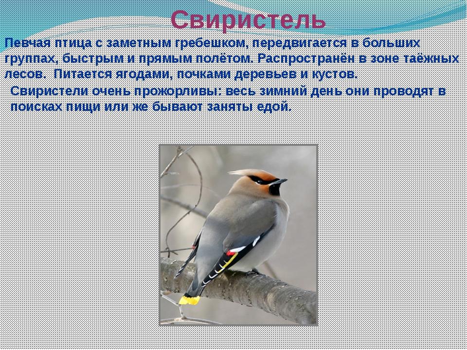 Свиристель Певчая птица с заметным гребешком, передвигается в больших группах...