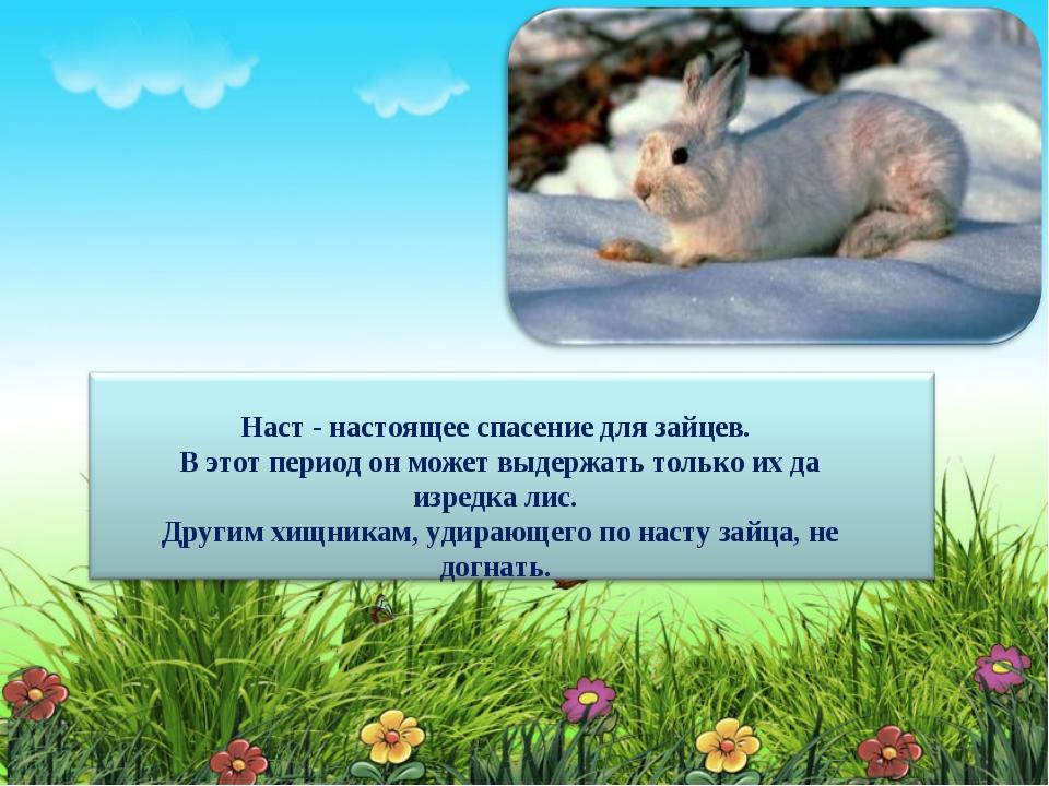 Наст - настоящее спасение для зайцев. В этот период он может выдержать тольк...