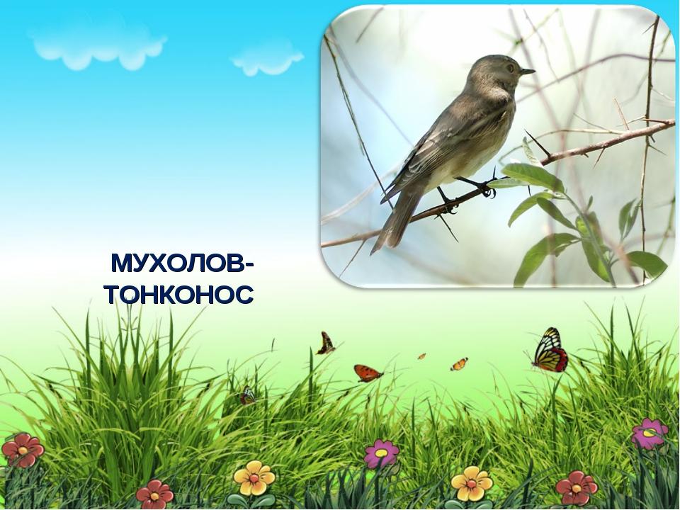 МУХОЛОВ-ТОНКОНОС