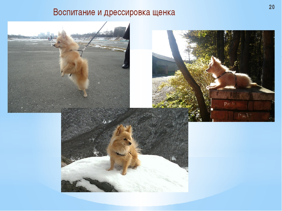 Воспитание и дрессировка щенка 20