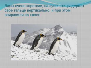 Лапы очень короткие, на суши птицы держат свое тельце вертикально, и при этом